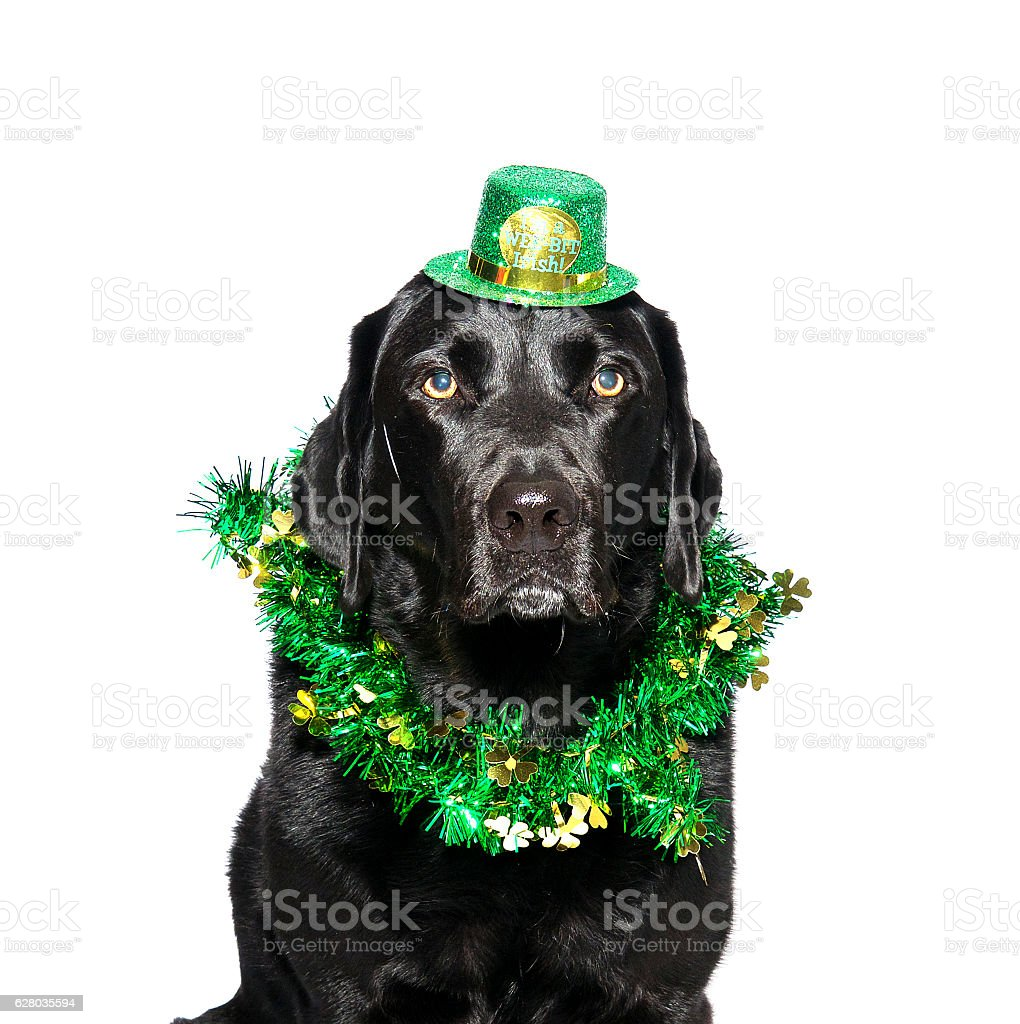 Black Labrador wearing St. Patrick's Day attire stock photo
