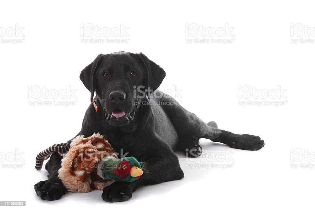 black labrador with phesant royalty-free stock photo