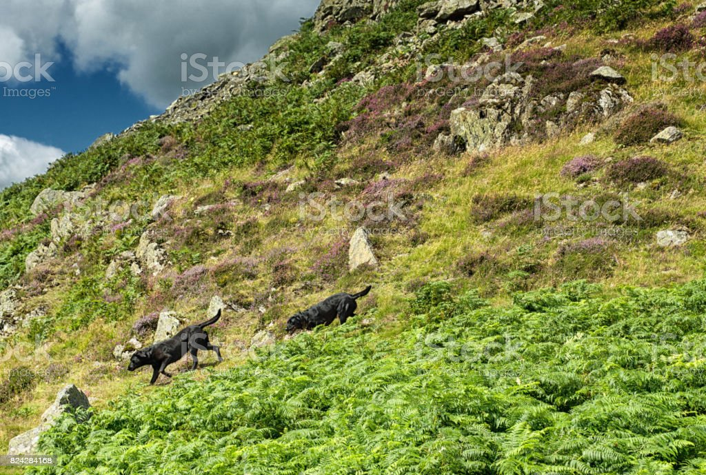 Black Labradors on the banks of Ullswater stock photo