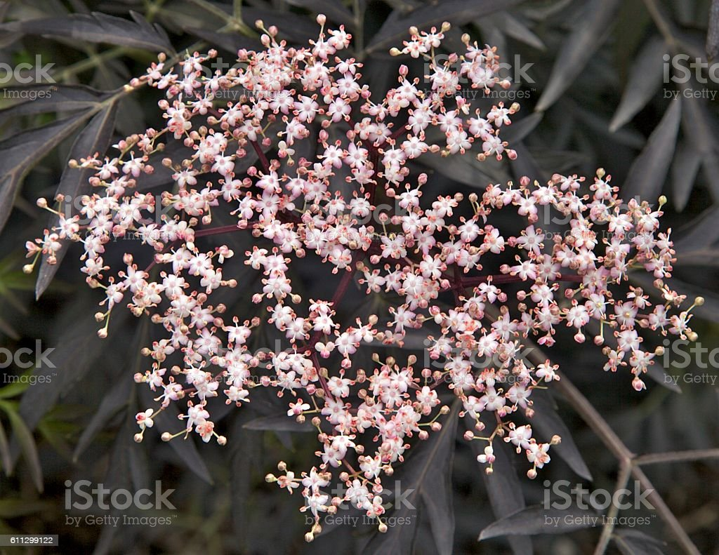 Black Lace Elderberry stock photo