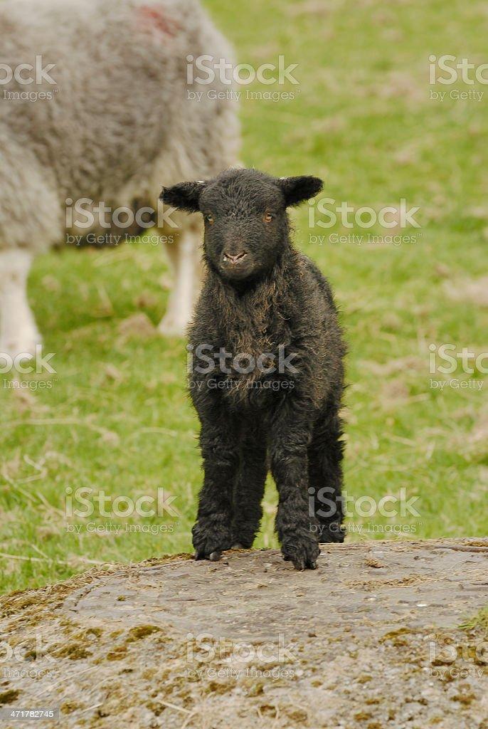 Black Lamb royalty-free stock photo