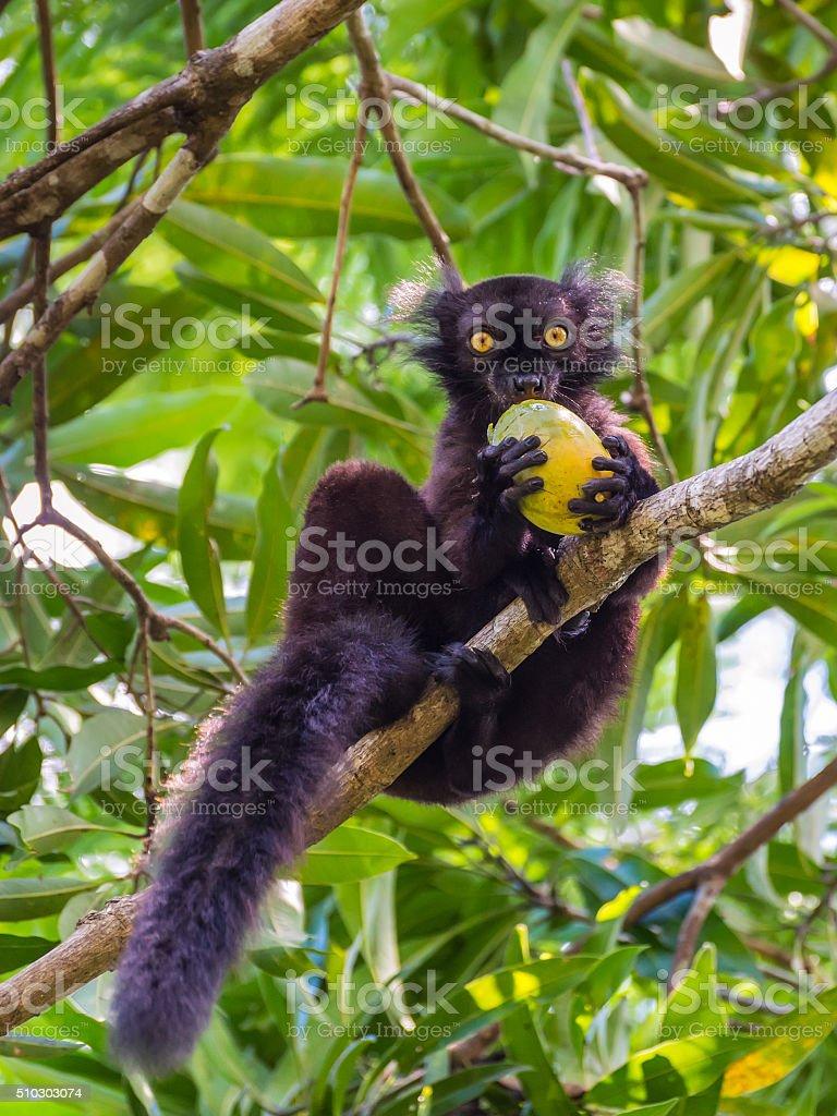 Black Lemur eating mango stock photo