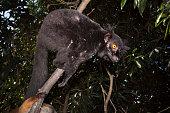 Black lemur in rain forest of Nosy Komba Madagascar