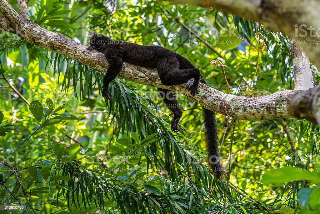 Black lemur sleeping on a branch stock photo