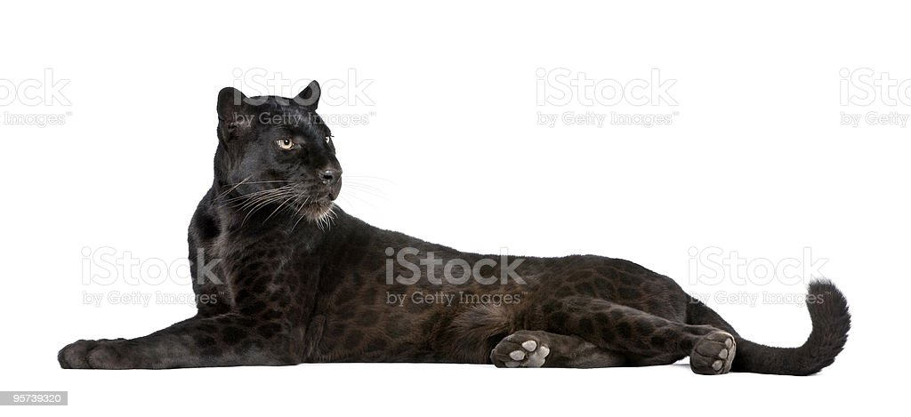 Black Leopard, 6 years old, lying down, studio shot stock photo