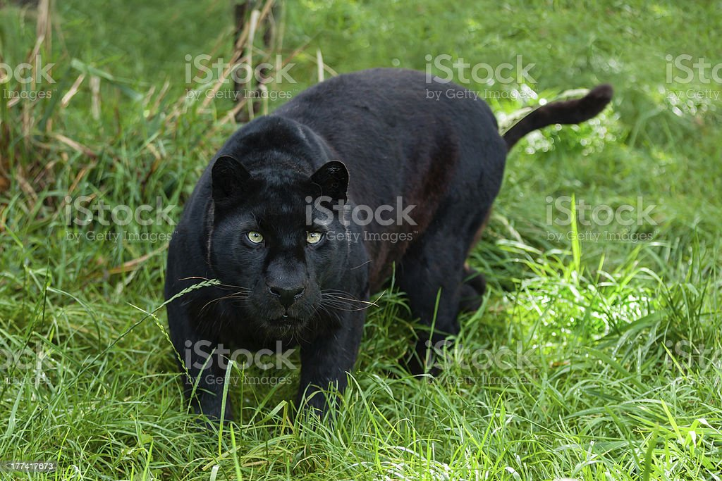 Black Leopard Hunting in the Long Grass royalty-free stock photo