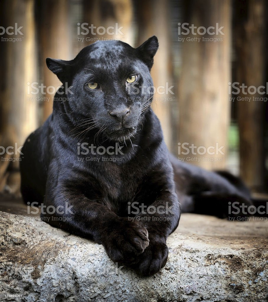 Black leopard royalty-free stock photo