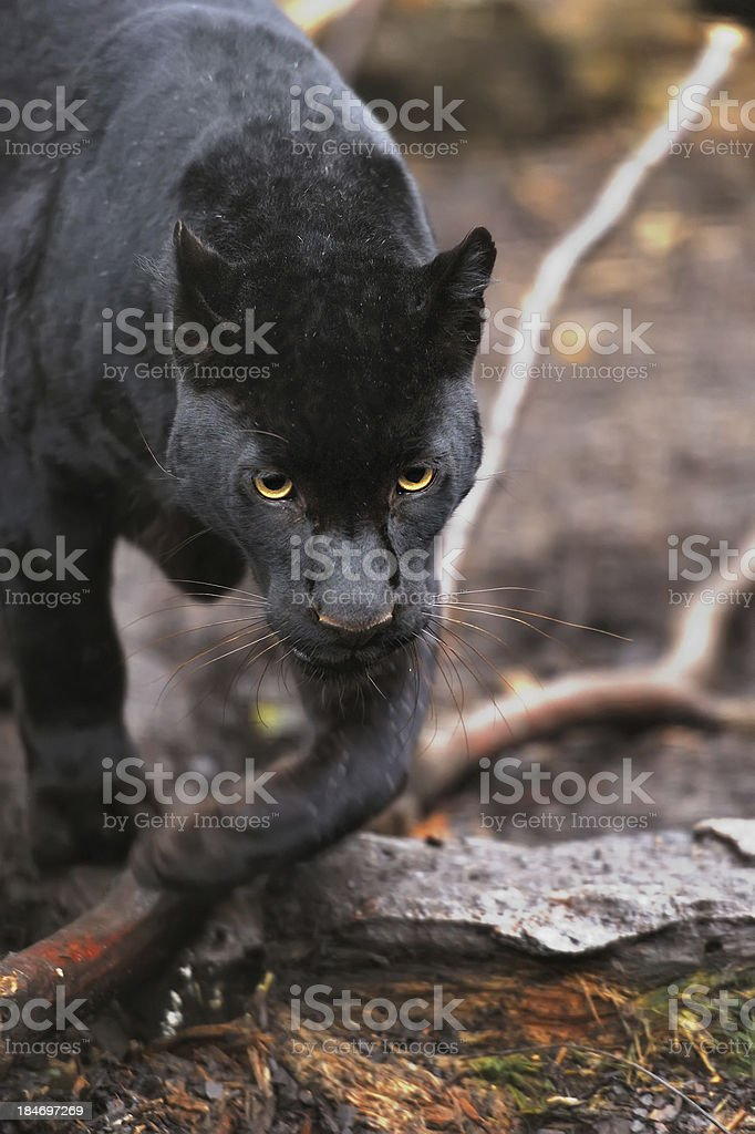 Black leopard royalty-free stock photo