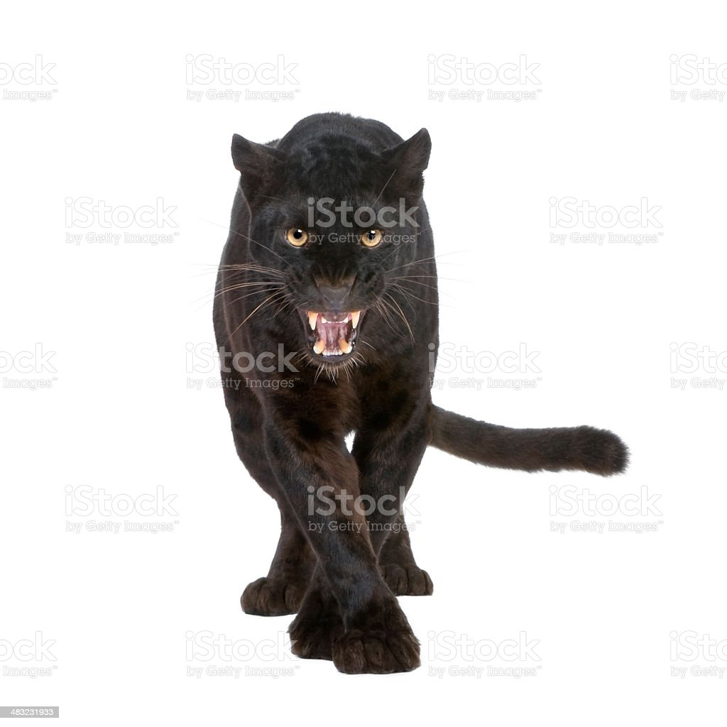 Black Leopard (6 years) stock photo