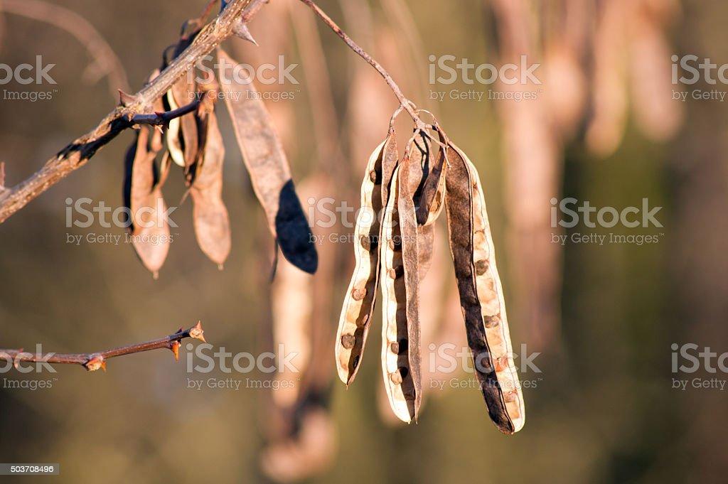 black locust (Robinia pseudoacacia) core stock photo