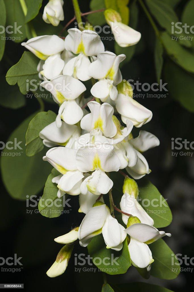 Black Locust, False Acacia, Robinia pseudoacacia, blooming close-up, selective focus stock photo