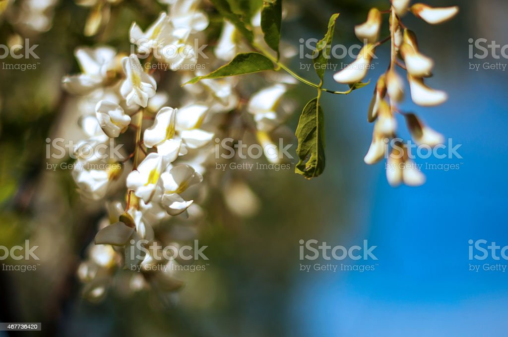 Black locust flowers stock photo