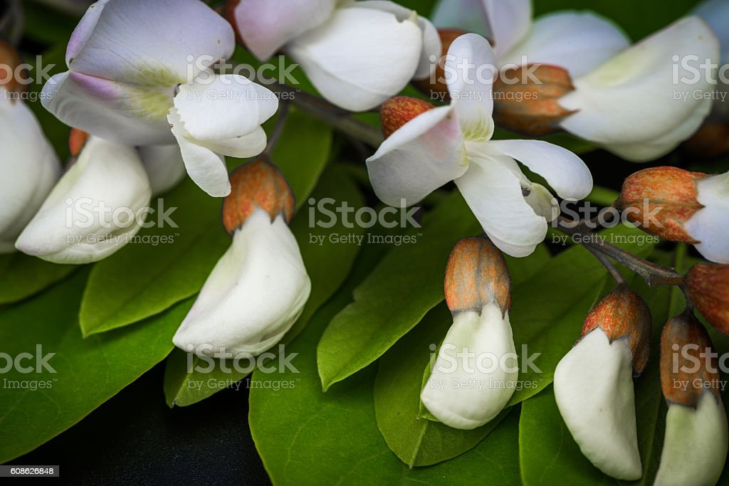 Black Locust flowers Robinia pseudoacacia stock photo
