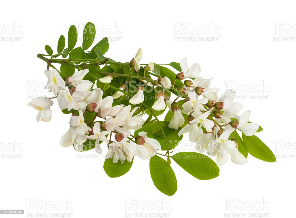 black locust stock photo