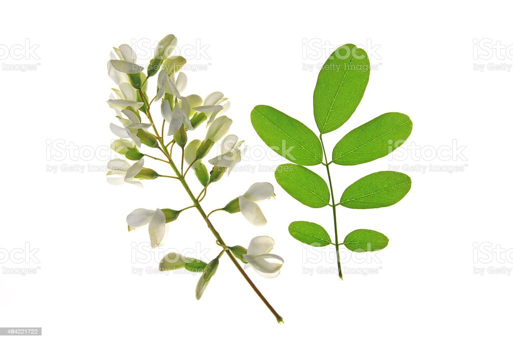 Black Locust (Robinia pseudoacacia) stock photo