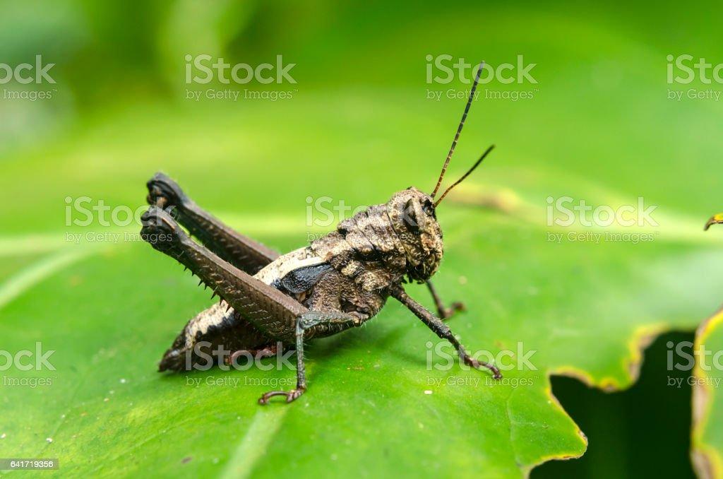 black locust stock photo
