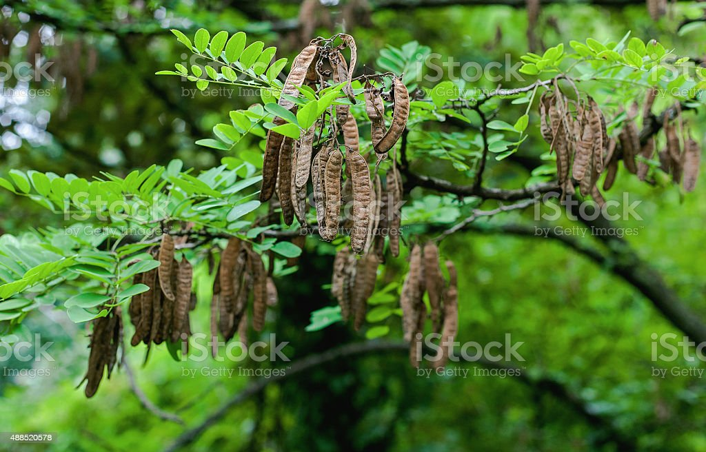 Black locust seed pods stock photo