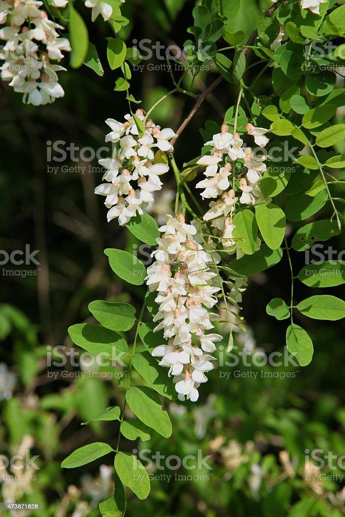 Black Locust Tree Blooms stock photo