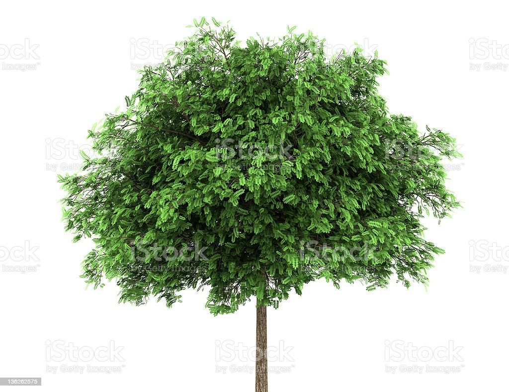 black locust tree isolated on white background stock photo