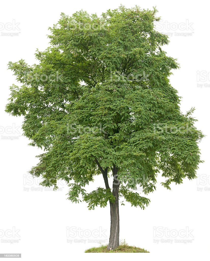 Black Locust tree (Robinia pseudoacacia) isolated on white, stock photo