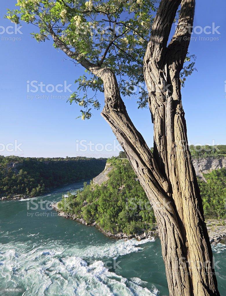 Black Locust Tree Trunk royalty-free stock photo