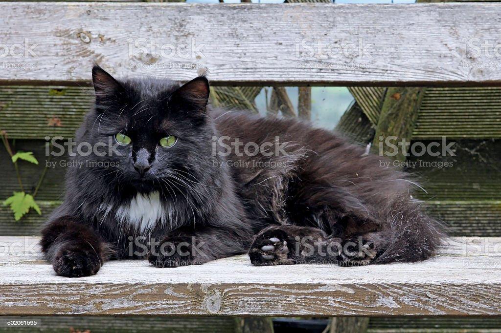 black long hair cat stock photo