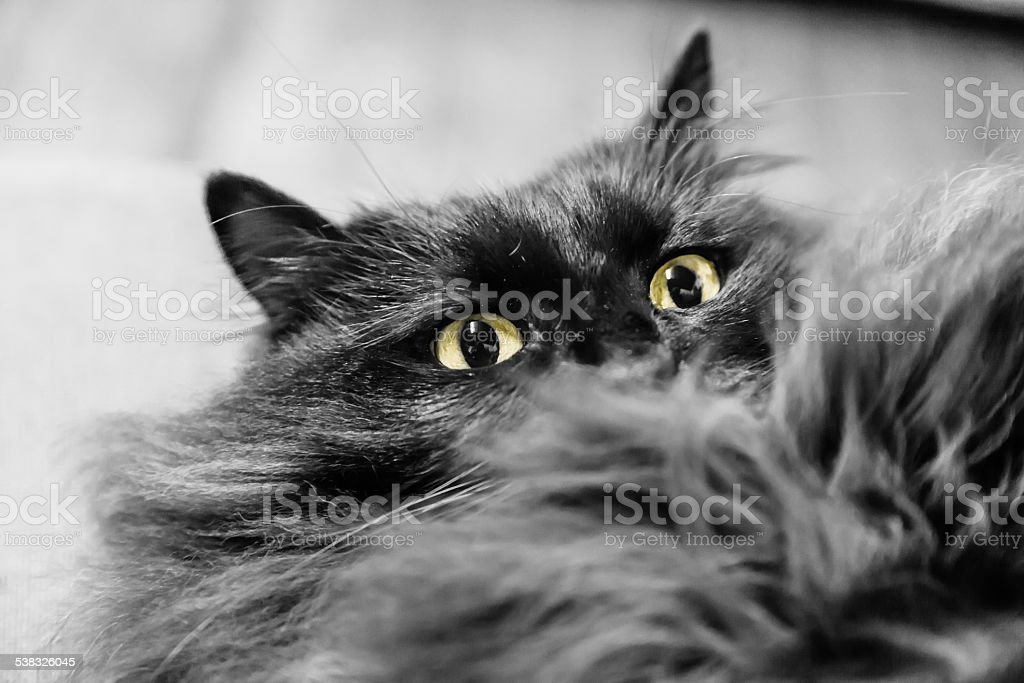Black longhaired cat ready to snap stock photo