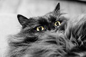 Black longhaired cat ready to snap