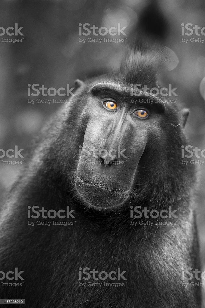 Black Macaque stock photo