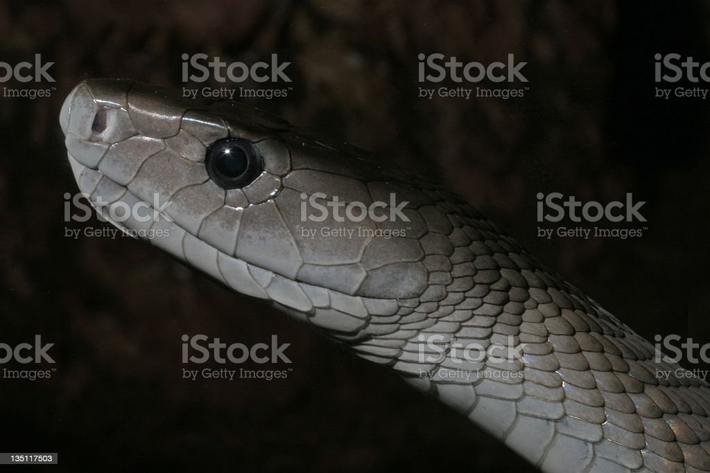 Black Mamba Snake royalty-free stock photo