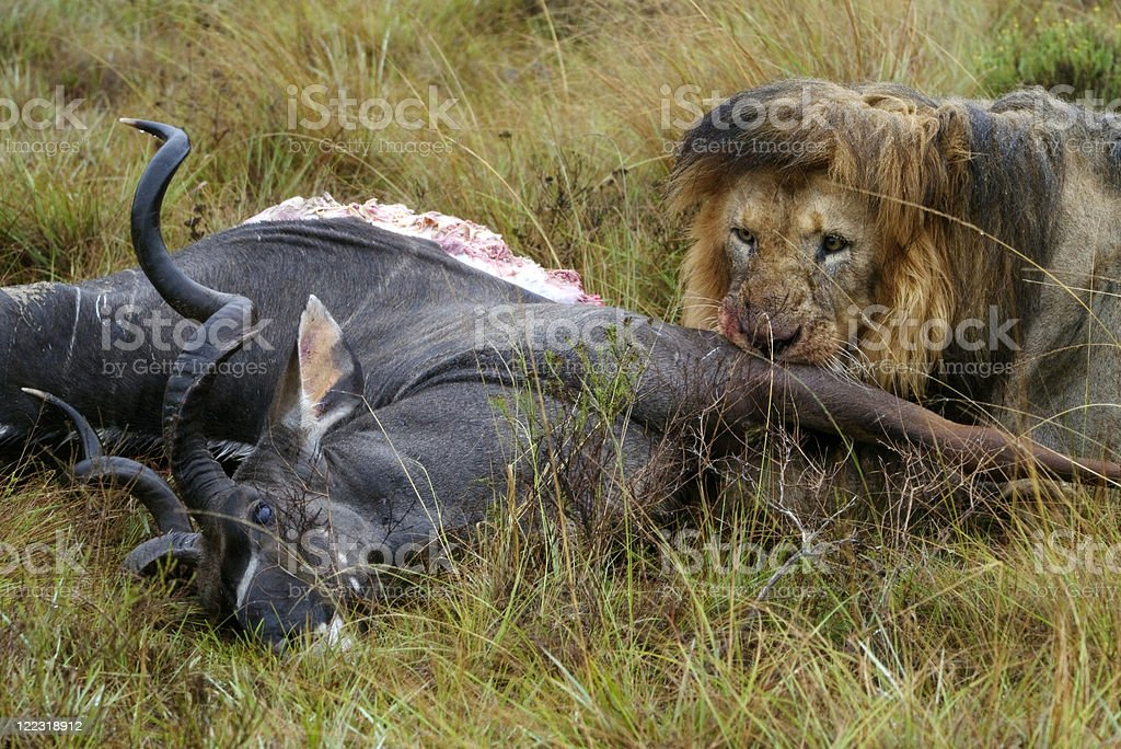 Black maned lion eating its prey royalty-free stock photo
