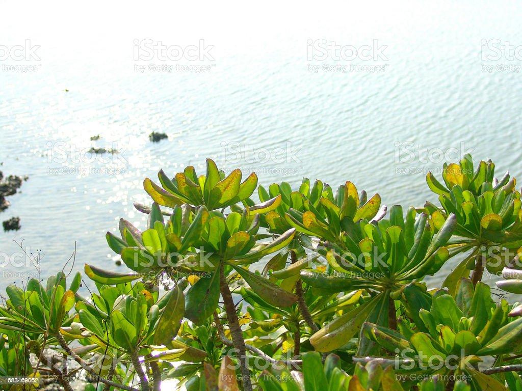Black mangrove stock photo