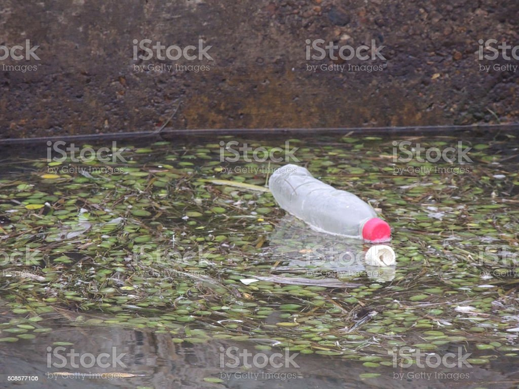 Black Mangrove seedpods floating on the water along with garbage stock photo