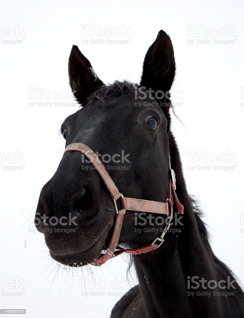 Black mare royalty-free stock photo