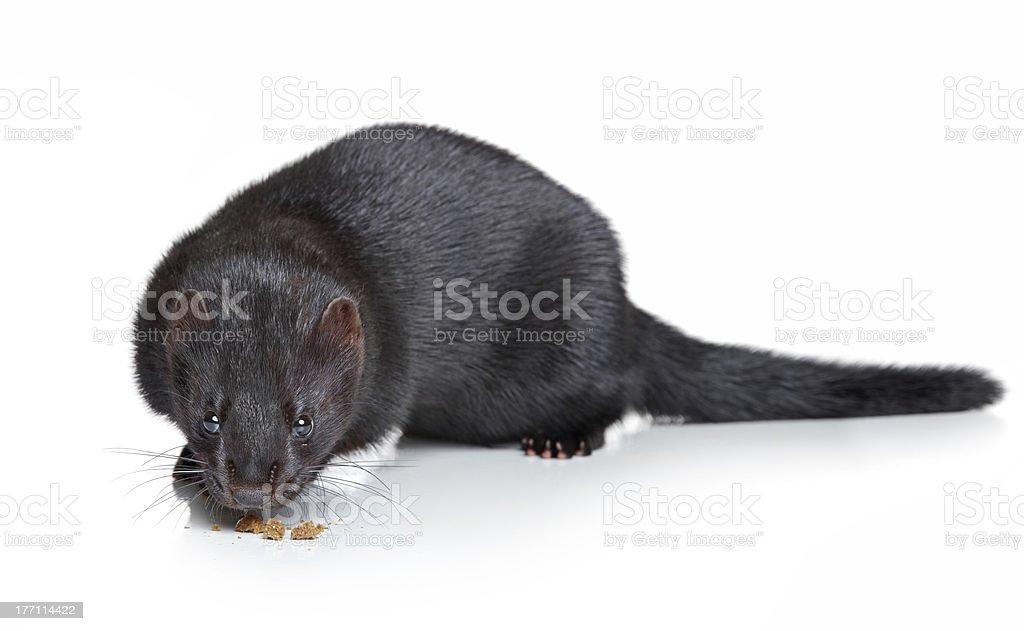 Black mink on white background stock photo