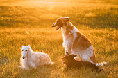 Black Mixed Breed Hunting Dog And Russian Greyhounds Borzois,