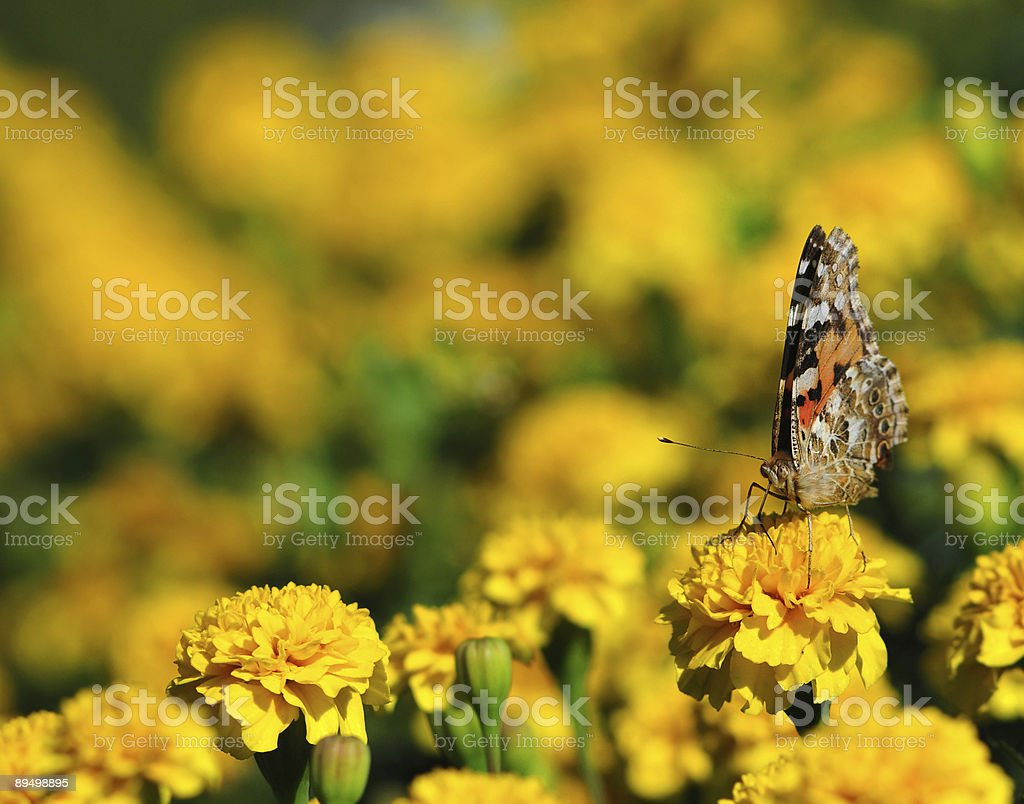 black monarch butterfly on the yellow marigold flower stock photo