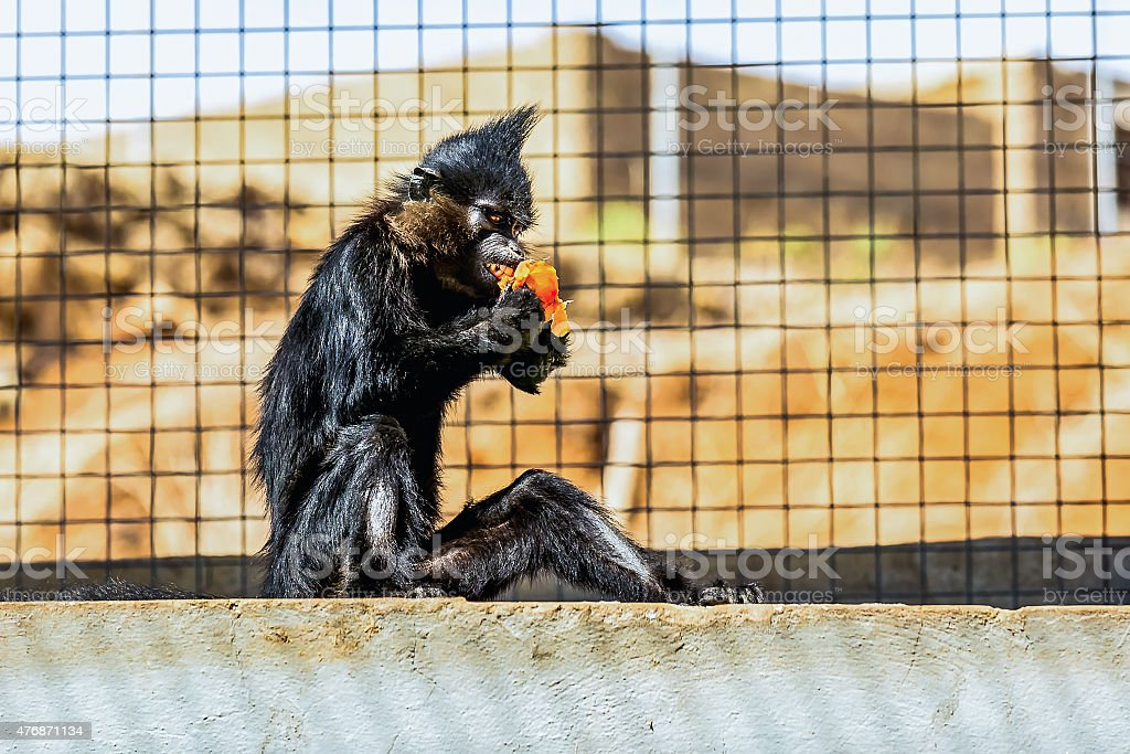 Black monkey stock photo