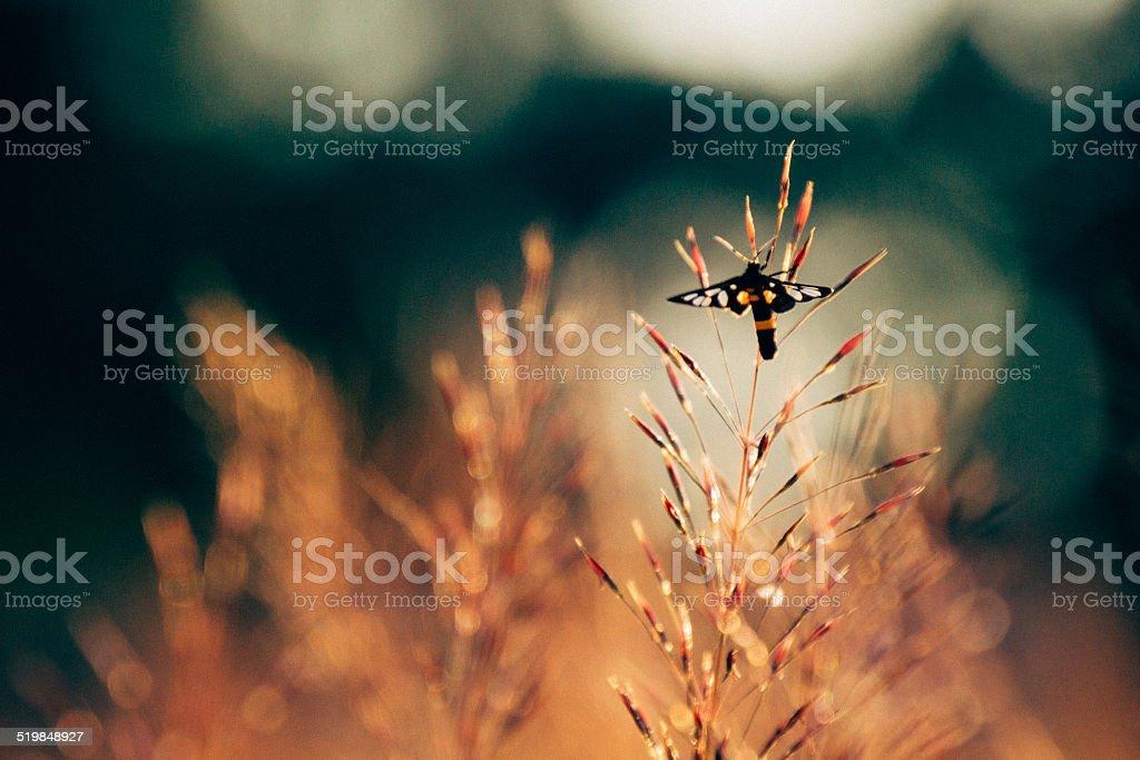 Black moth in warm field stock photo