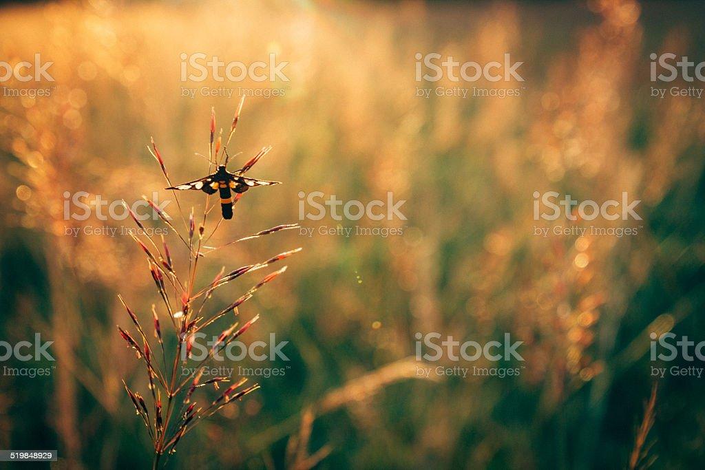 Black moth on grass flower stock photo