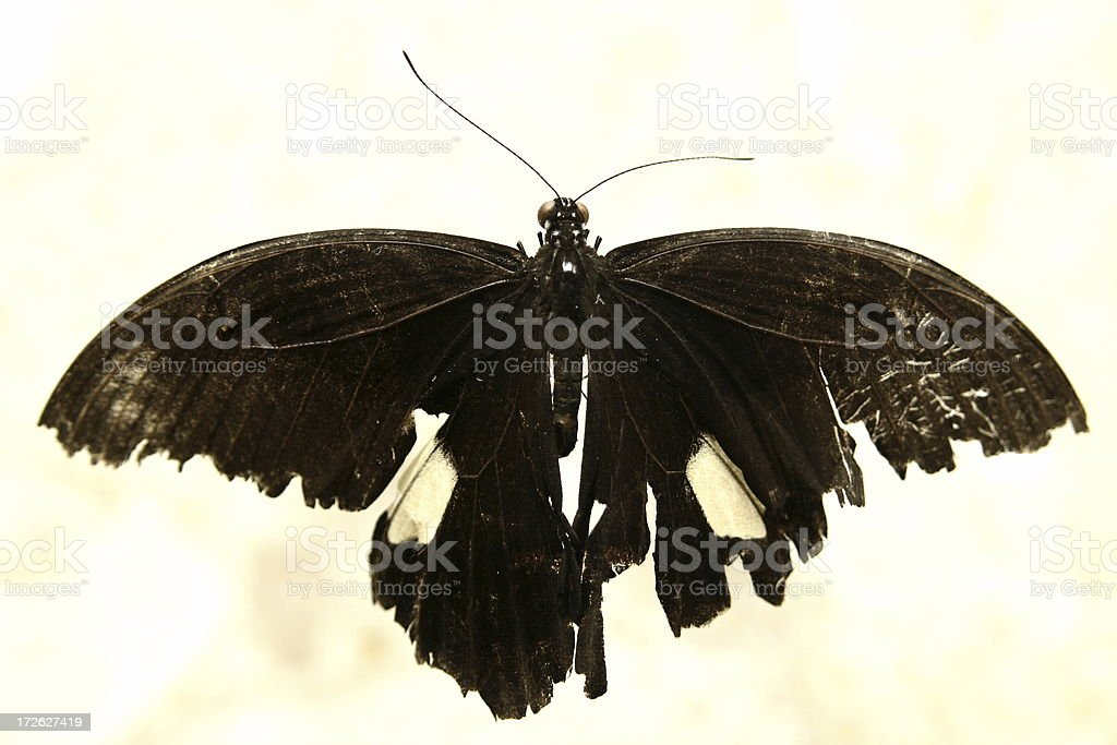 Black moth stock photo