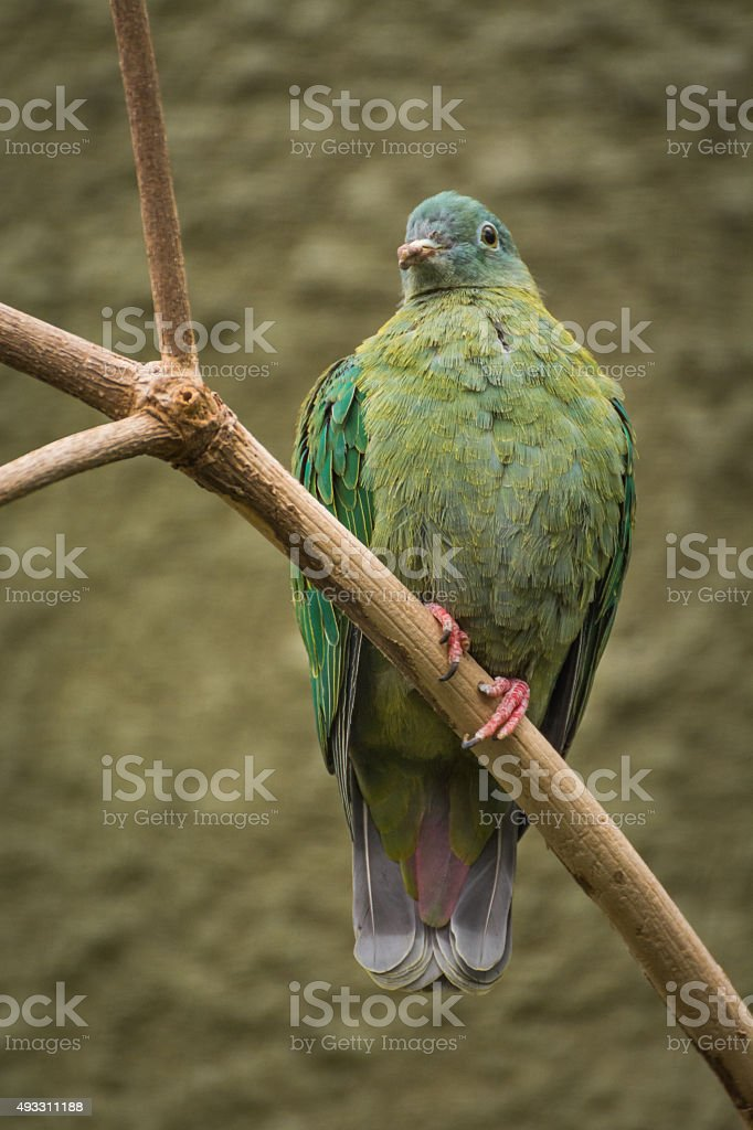 Black Naped Fruit Dove Perched On Branch. stock photo