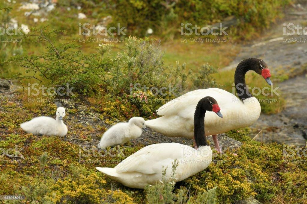 Black necked Swan stock photo