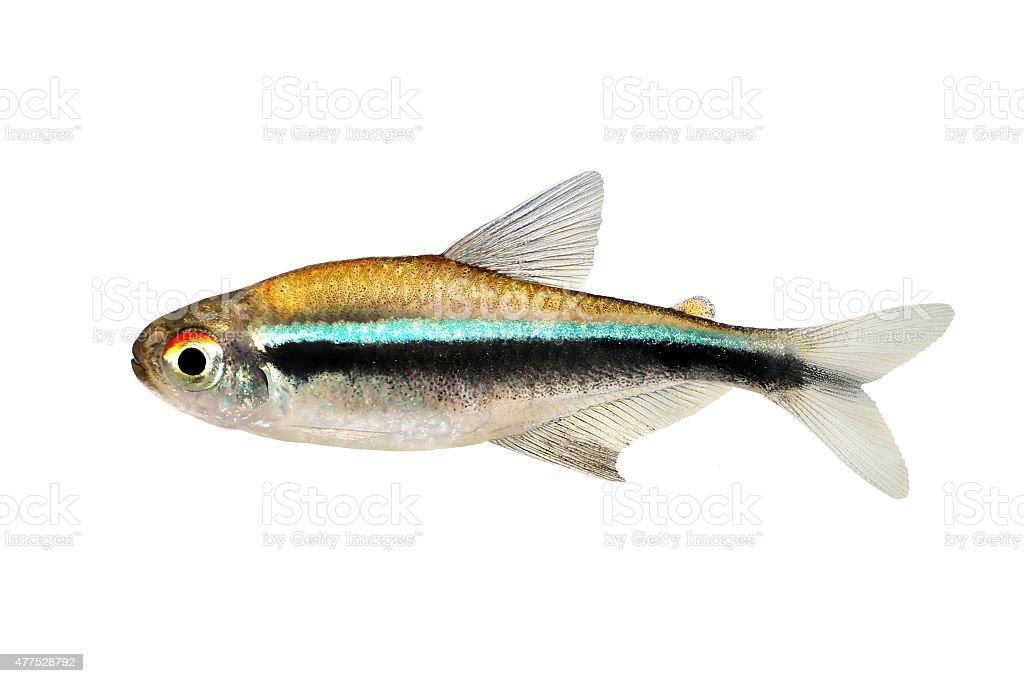 Black Neon Tetra Hyphessobrycon herbertaxelrodi aquarium fish stock photo
