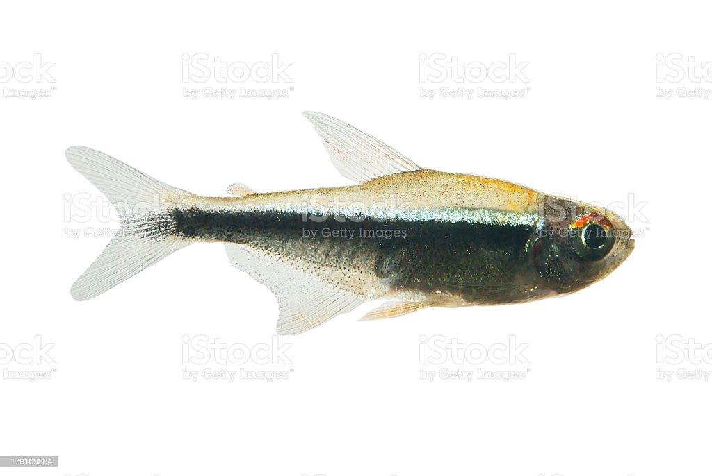 Black neon tetra ( Hyphessobrycon herbertaxelrodi ) stock photo