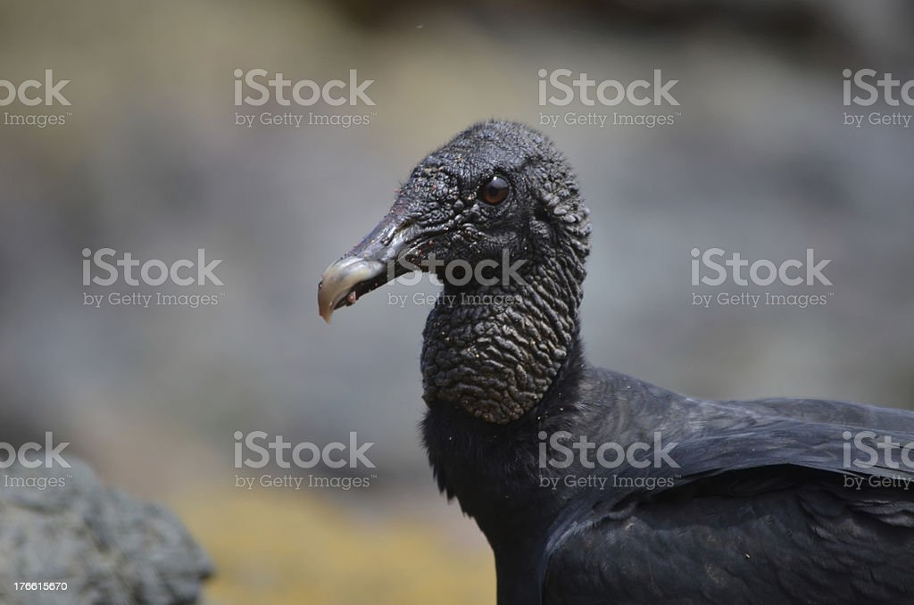 Black New World Vulture stock photo