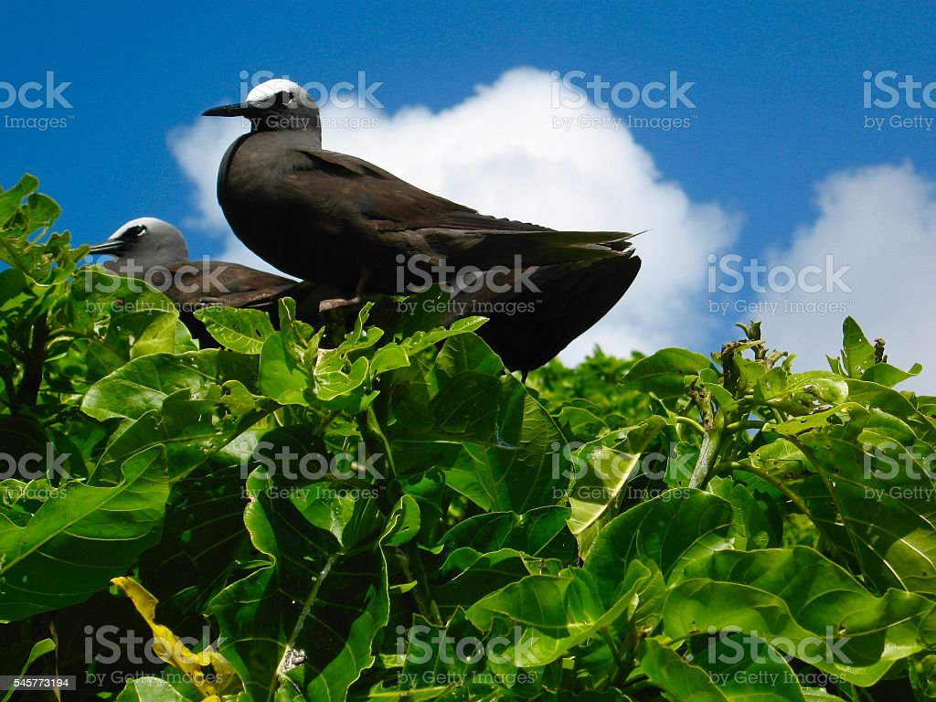 Black Noddy Tern, Lady Musgrave Island Australia stock photo