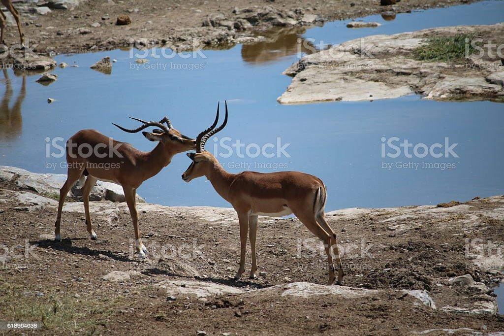 Black nosed impala at waterhole, Etosha National Park Namibia, Africa stock photo
