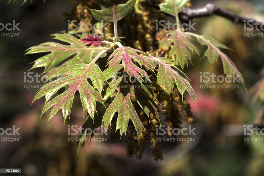 Black Oak Leafs and Pollen flowers stock photo