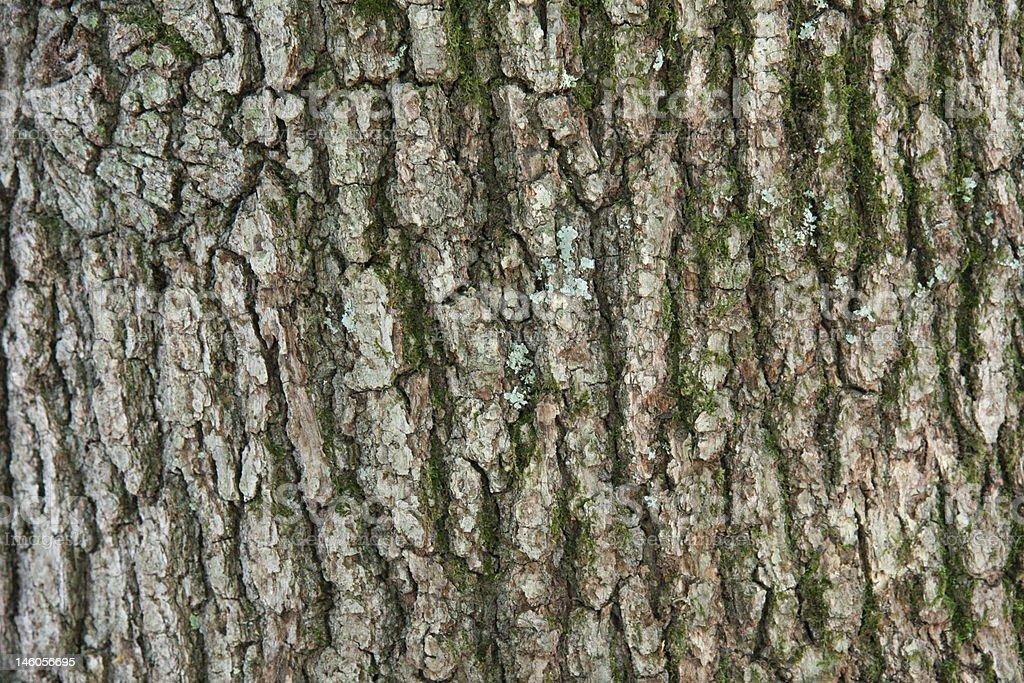Black Oak tree bark royalty-free stock photo